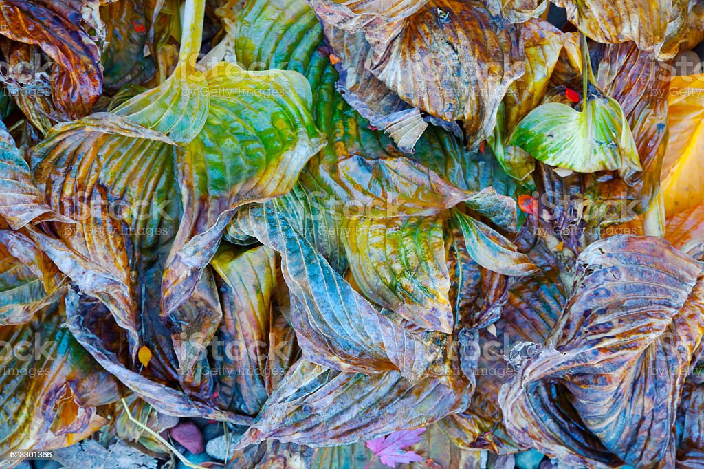 Colorful hosta leaves in autumn stock photo