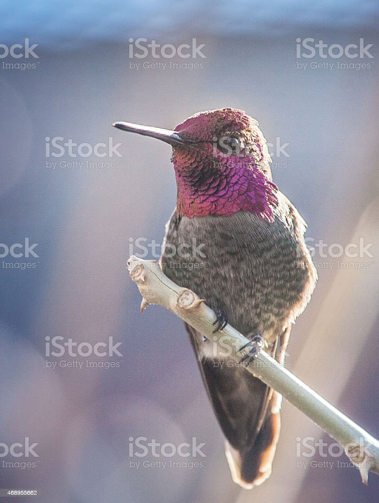 Colorful Hummingbird stock photo