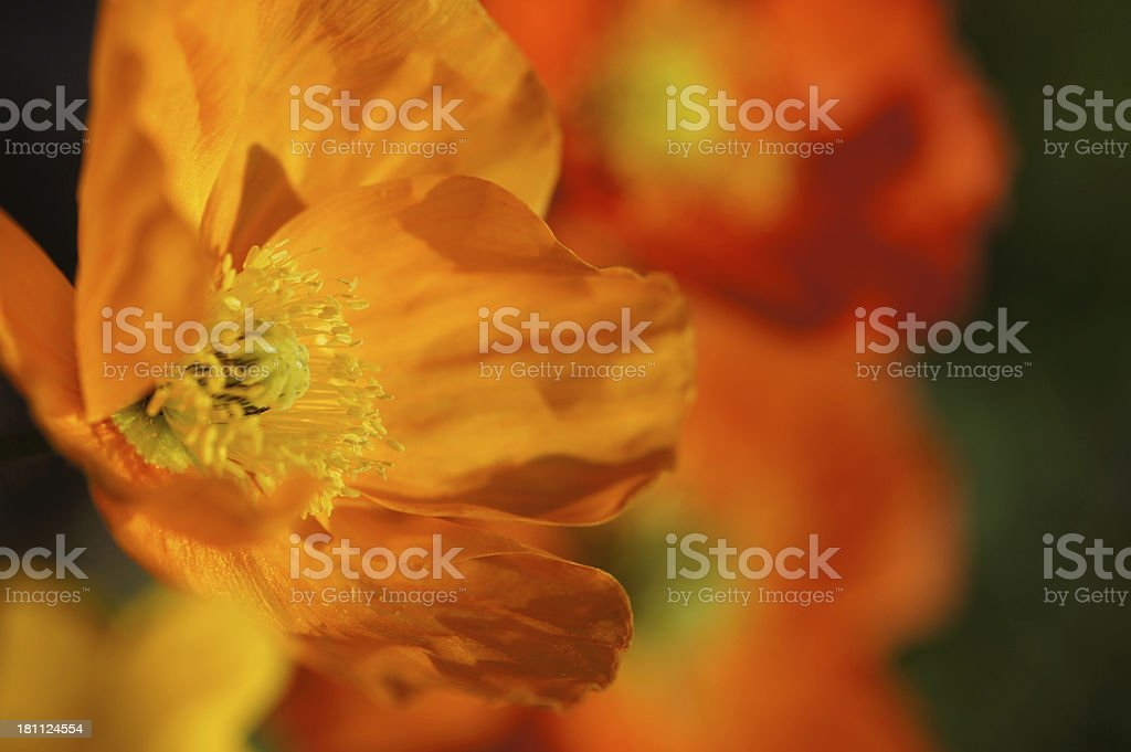 Colorful iceland poppy royalty-free stock photo