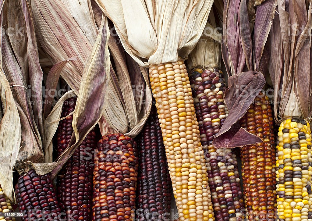 Colorful Indian Corn royalty-free stock photo