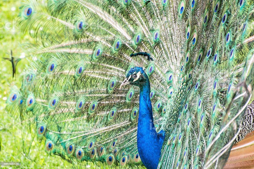 Colorful Indian peafowl - Pavo cristatus - male (peacock) stock photo