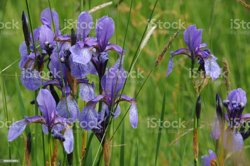Colorful iris flowers on a on a green meadow in early summer stock photo