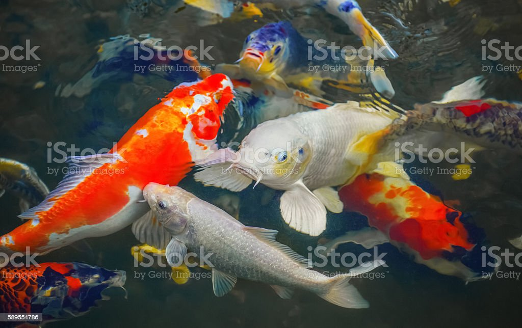 Colorful Japanese carp swimming in the pond of a pack. stock photo