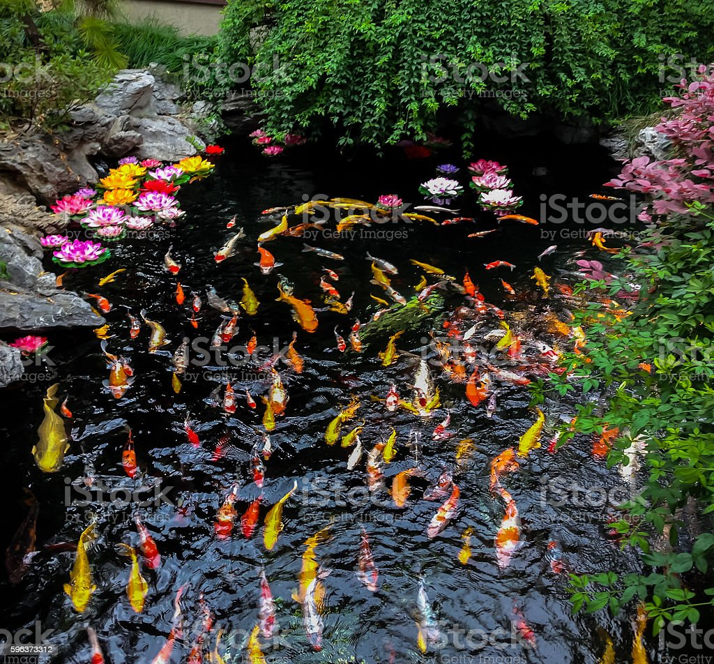 Colorful japanese Koi fish in a pond stock photo