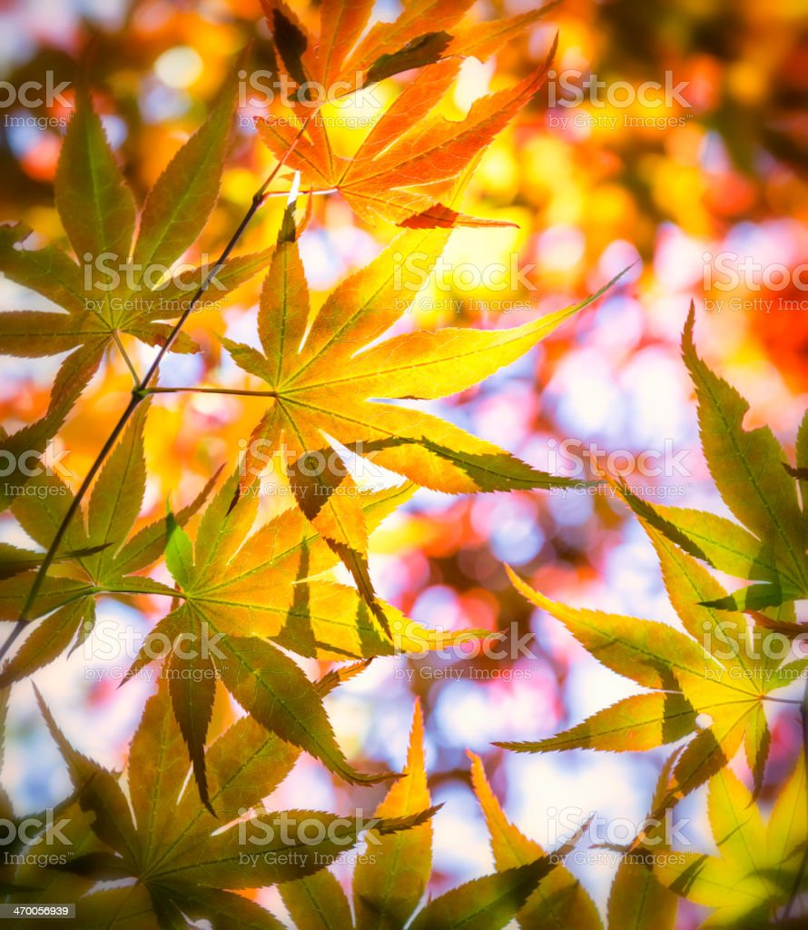 Colorful Japanese leaves royalty-free stock photo