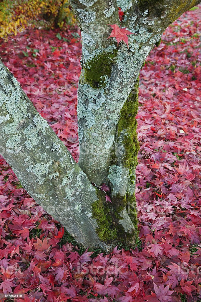Colorful Japanese maple. royalty-free stock photo