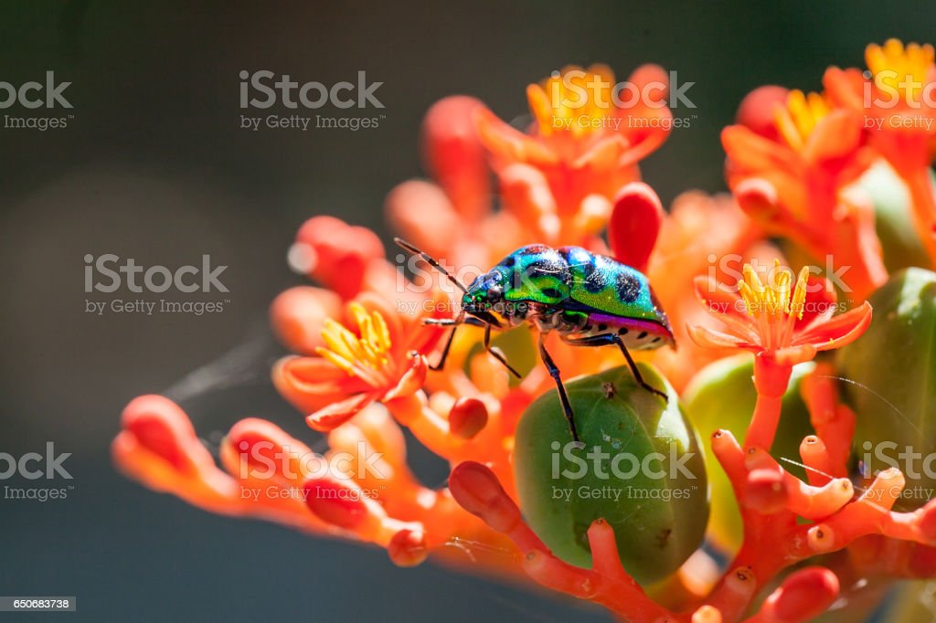 Colorful Jewel bug on flower stock photo