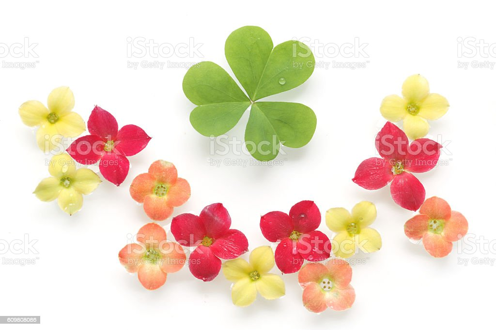 colorful kalanchoe flower and clover background stock photo