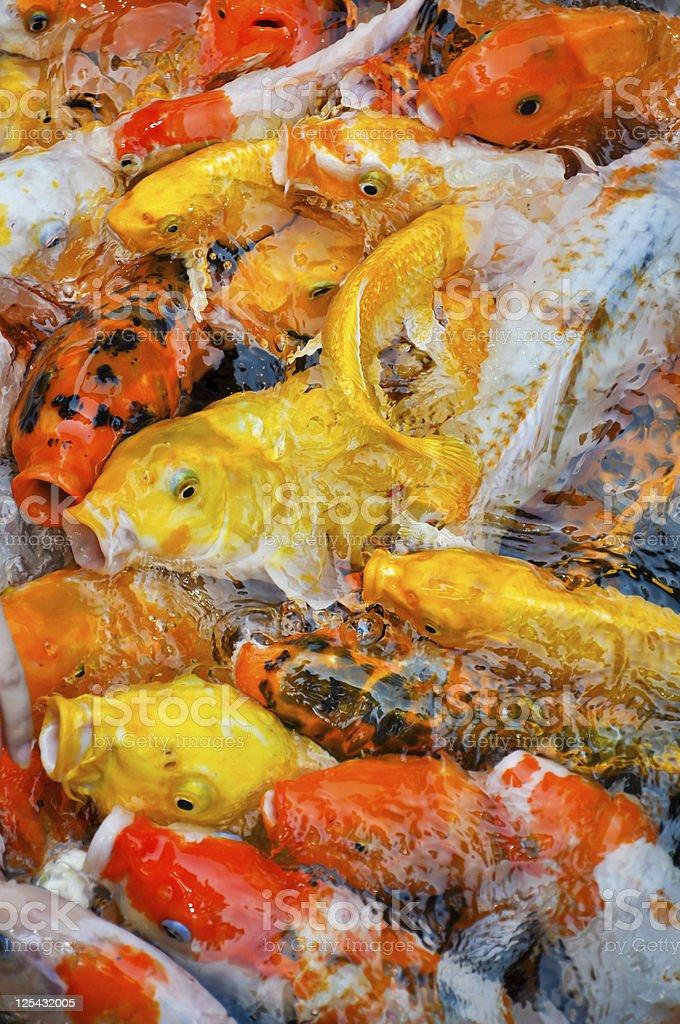 colorful koi carps in a feeding frenzy stock photo