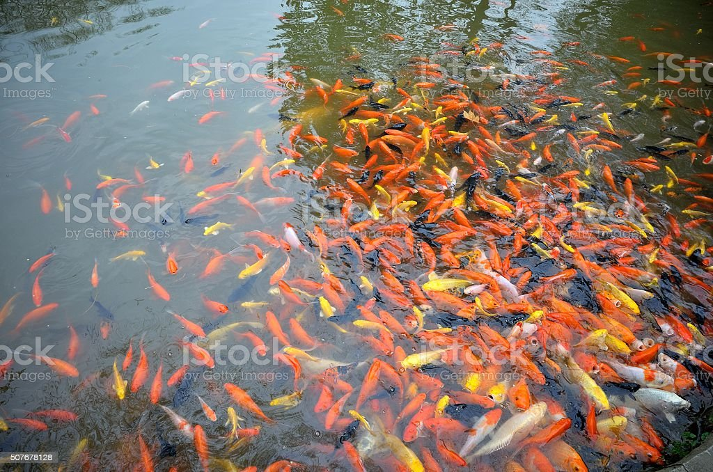 Colorful Koi fish swimming in the pond stock photo