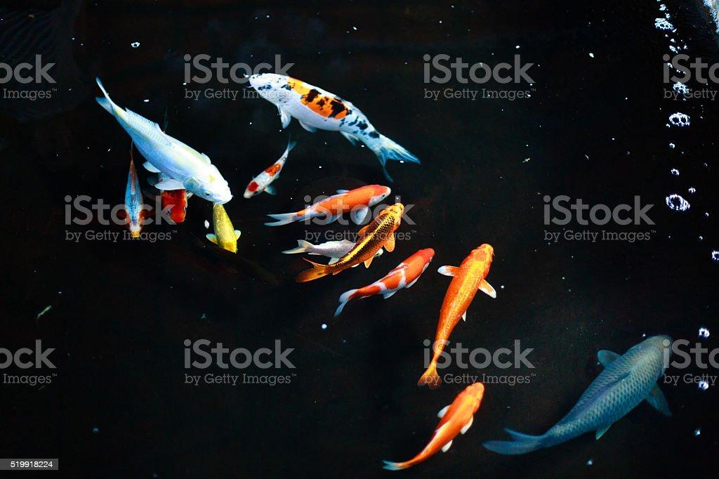 colorful koi fishes swimming in aquarium stock photo