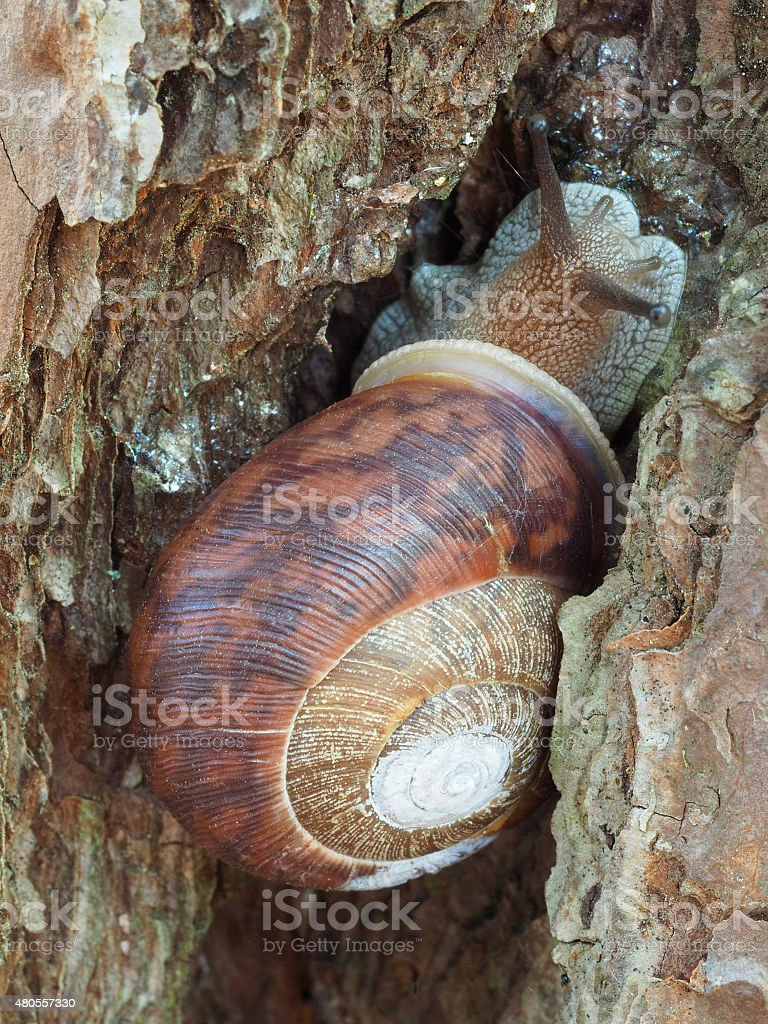Colorful Land Snail on Pine Tree stock photo