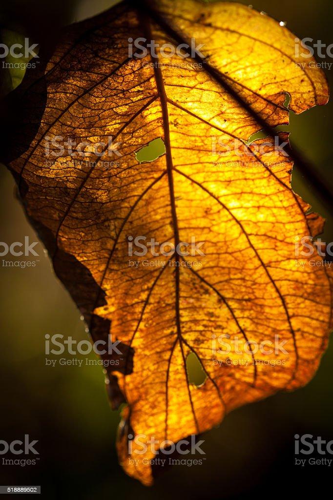 Colorful leaf backlit on a tree at sunrise. stock photo