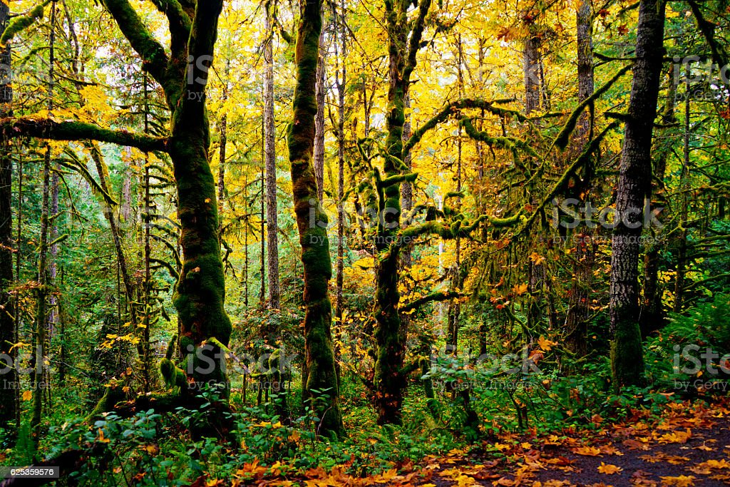 colorful leaves fall in a temperate rainforest stock photo
