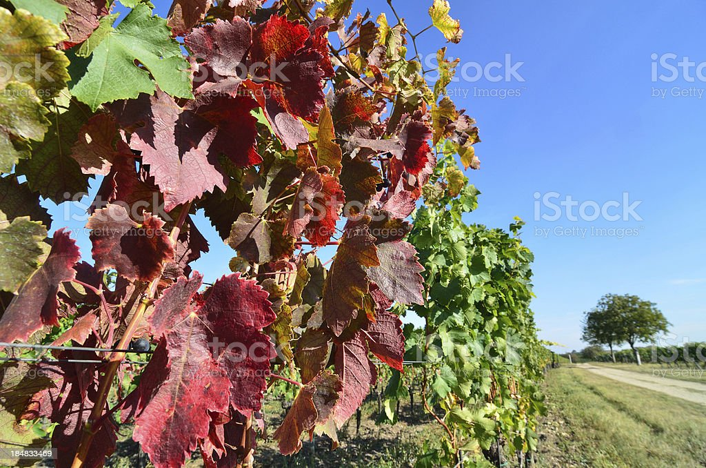 Colorful leaves in Vineyard royalty-free stock photo