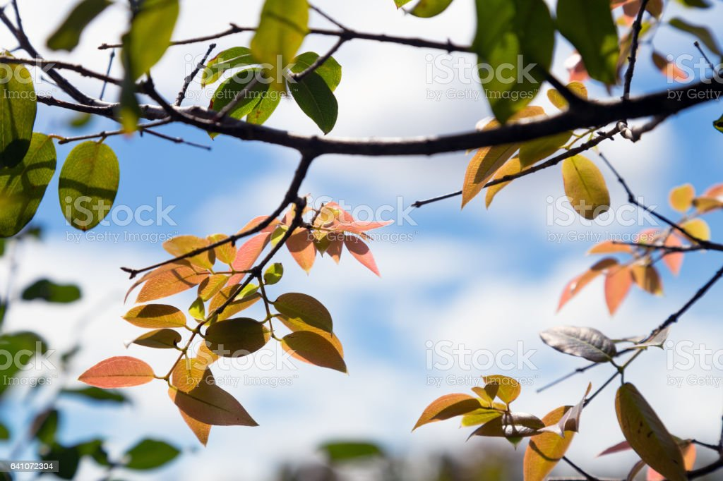 Colorful leaves of a tree on a sunny day. stock photo
