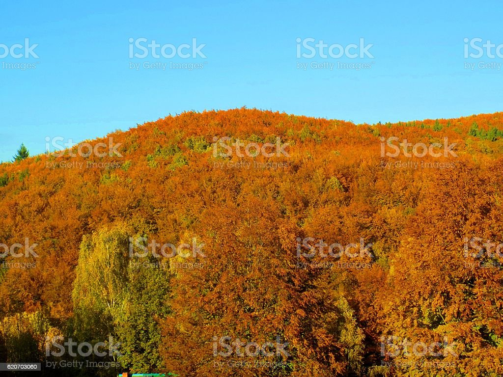 Colorful leaves on deciduous trees in deciduous forest during autum stock photo