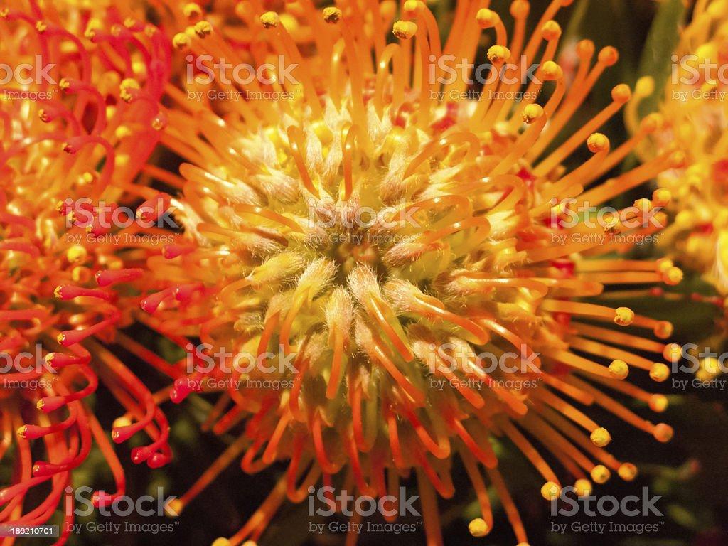Colorful leucadendron royalty-free stock photo