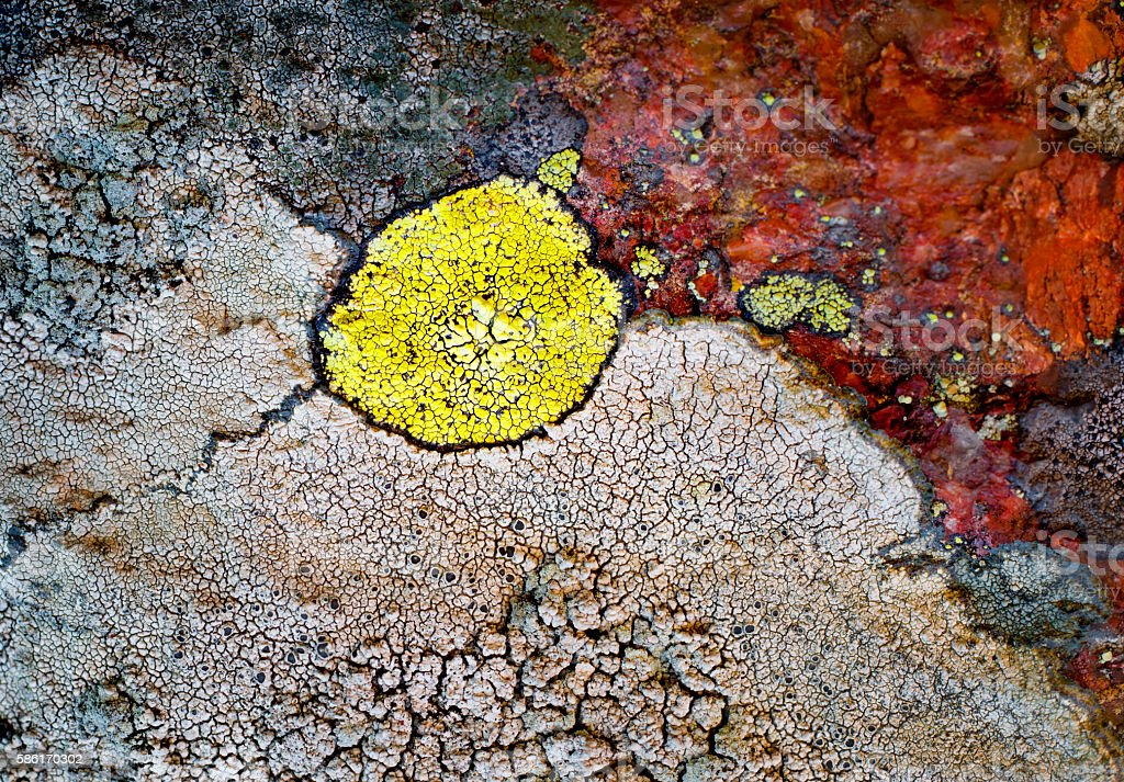 Colorful lichen stock photo