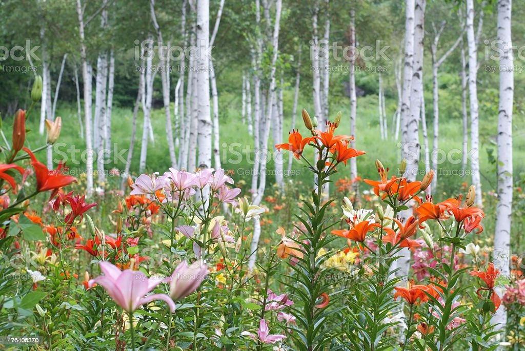 Colorful lilies in silver birch forest stock photo