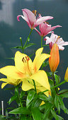 colorful lilly on dark tone background