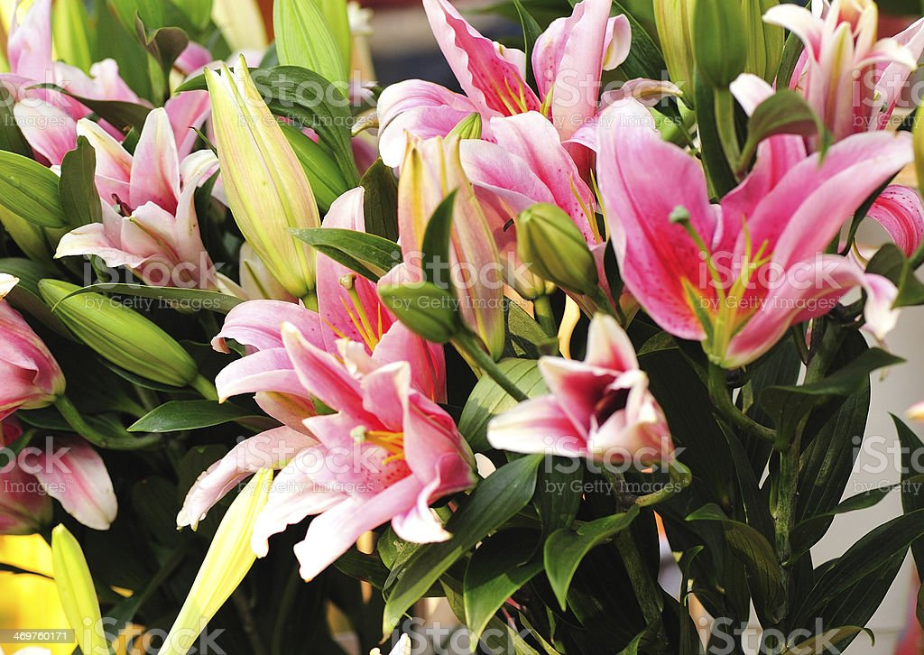 colorful lily flowers royalty-free stock photo