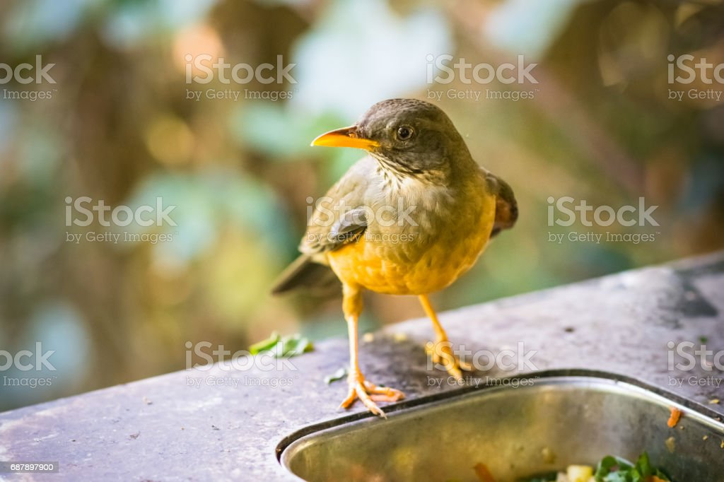 A single small colorful bird is eating from a food container. Shot in...