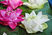 Colorful lotus flower on water for Buddha in Thailand