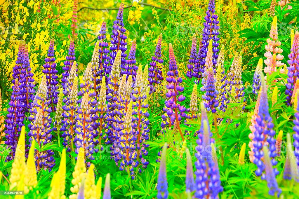 Colorful lupine garden green foliage and yellow flowers, New Zealand stock photo