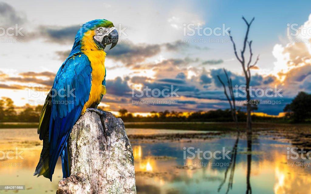 Colorful Macaw bringing beauty to Pantanal, Brazil stock photo