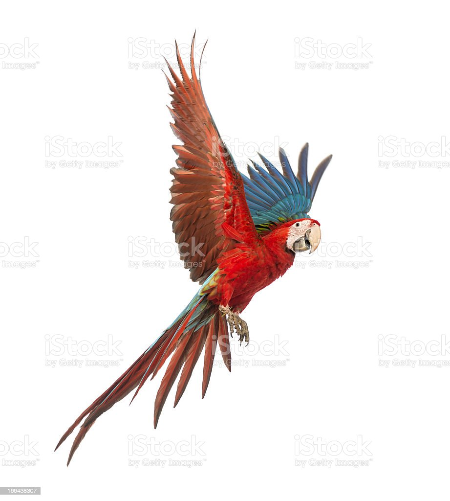 Colorful Macaw in flight over white background stock photo