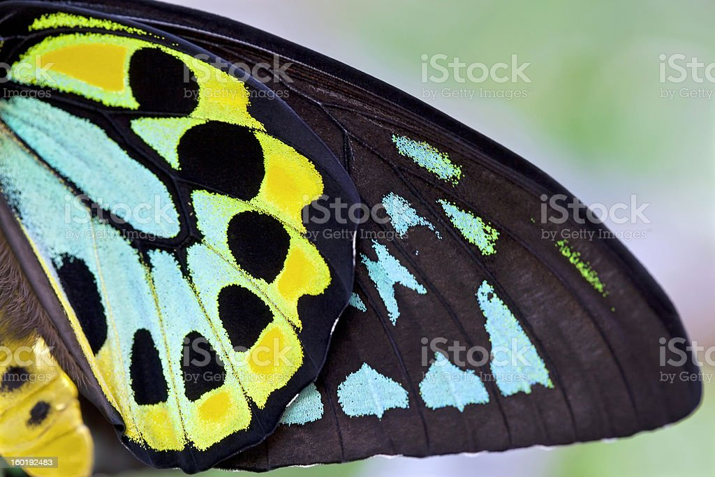 colorful Male Birdwing butterfly background (Ornithoptera priamus) stock photo