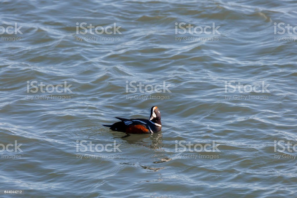 Colorful Male Harlequin Duck (Histrionicus histrionicus) Ocean City Maryland stock photo