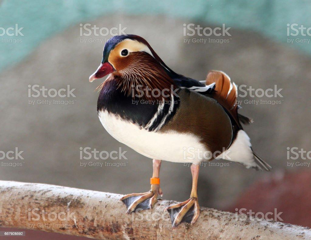 Colorful male mandarin duck (Aix galericulata) stock photo