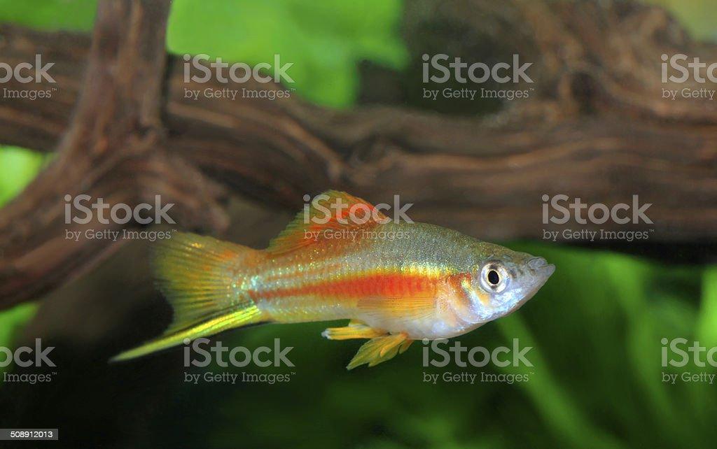 Colorful Male Neon SwordFish in an Aquarium stock photo