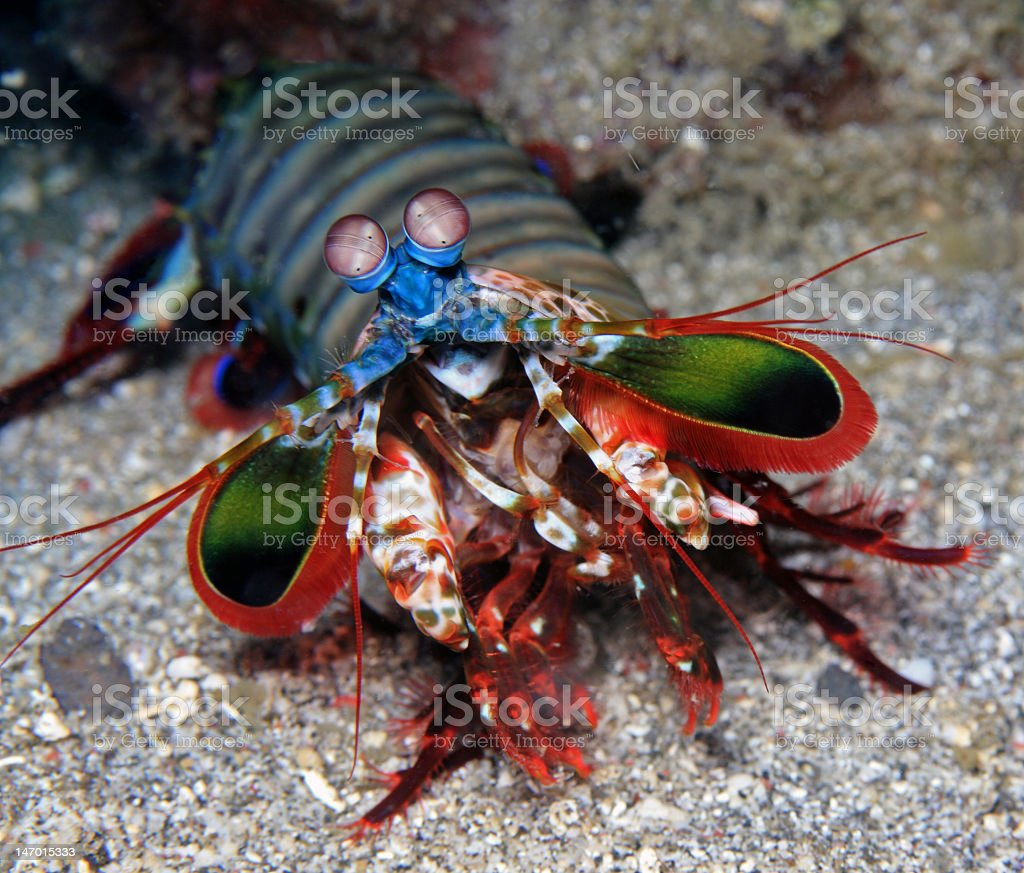A colorful Mantis shrimp on a rock below water stock photo