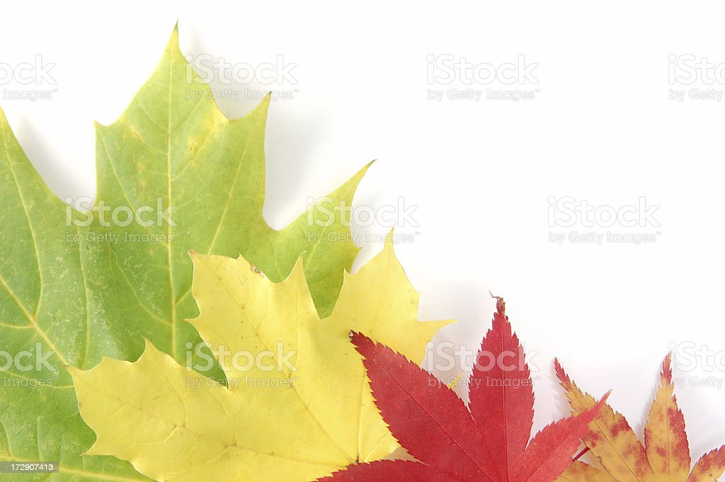 Colorful maple in fall royalty-free stock photo