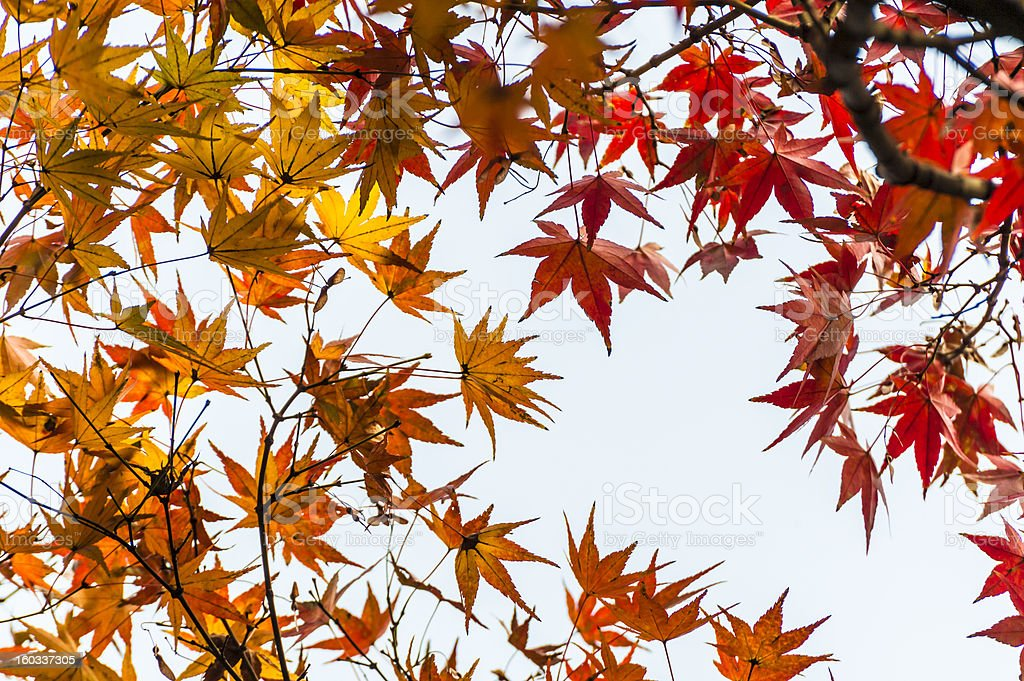 Colorful maple leaf in autumn royalty-free stock photo