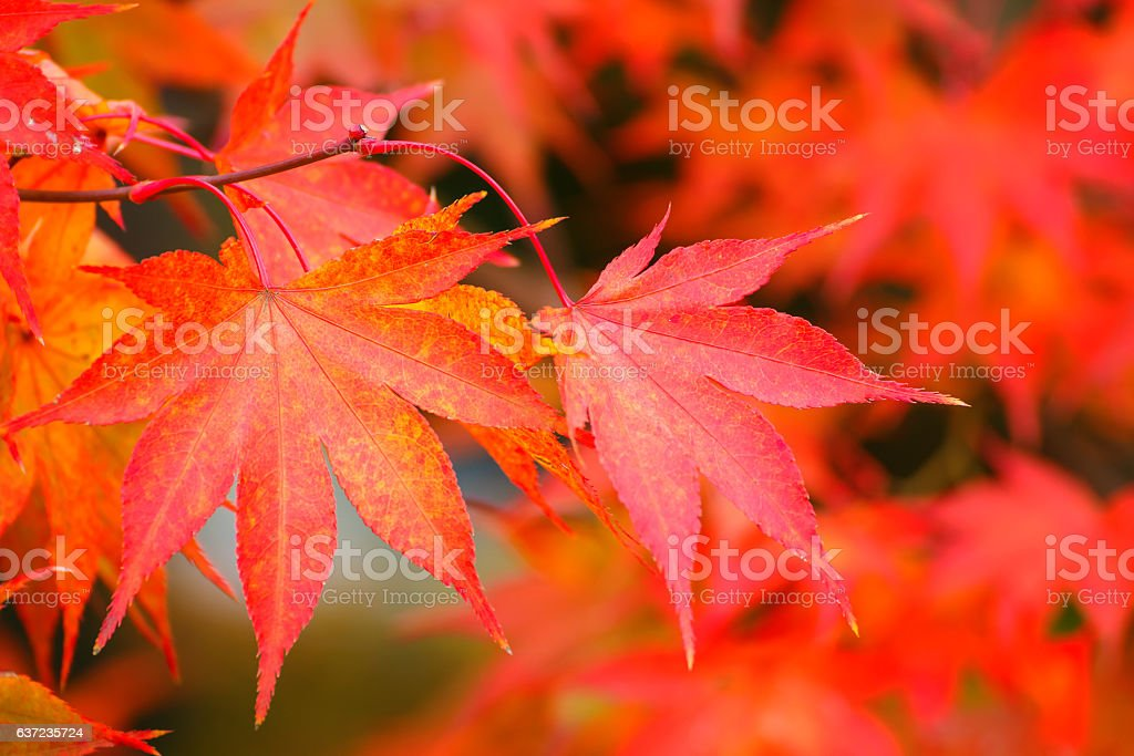 Colorful Maple Leaves in Autumn stock photo