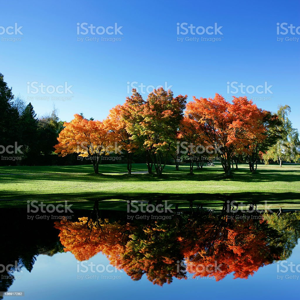 XXL colorful maple trees royalty-free stock photo