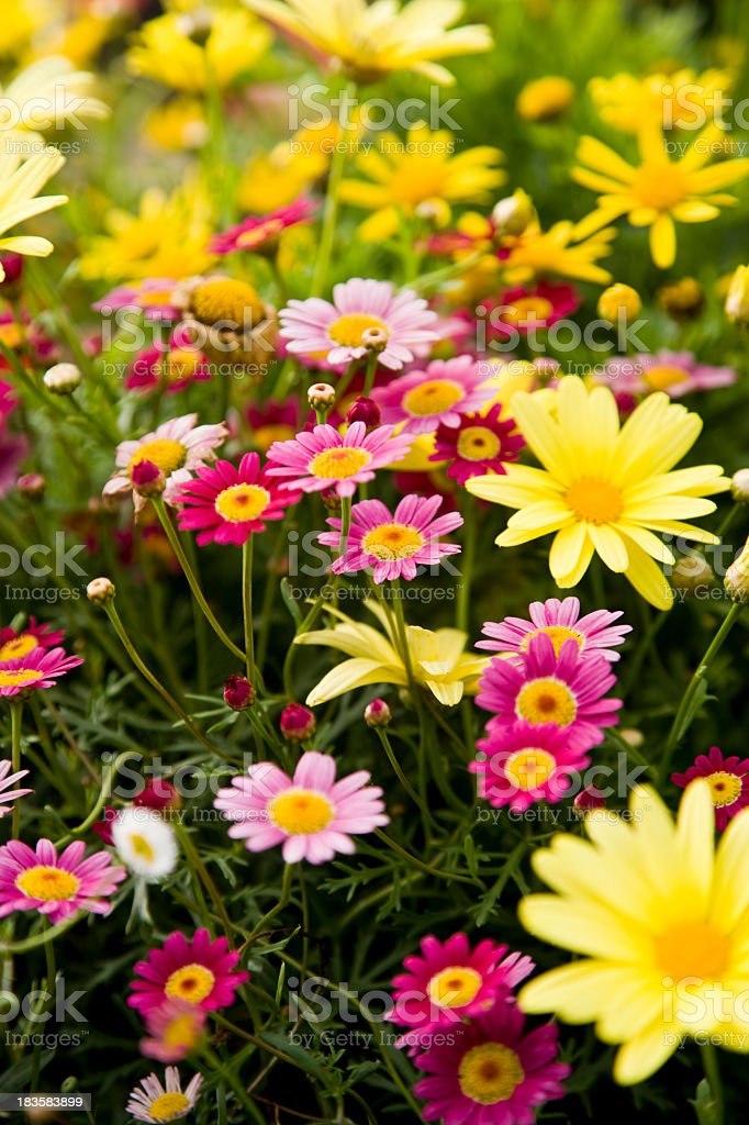 Colorful marguerite daisies stock photo