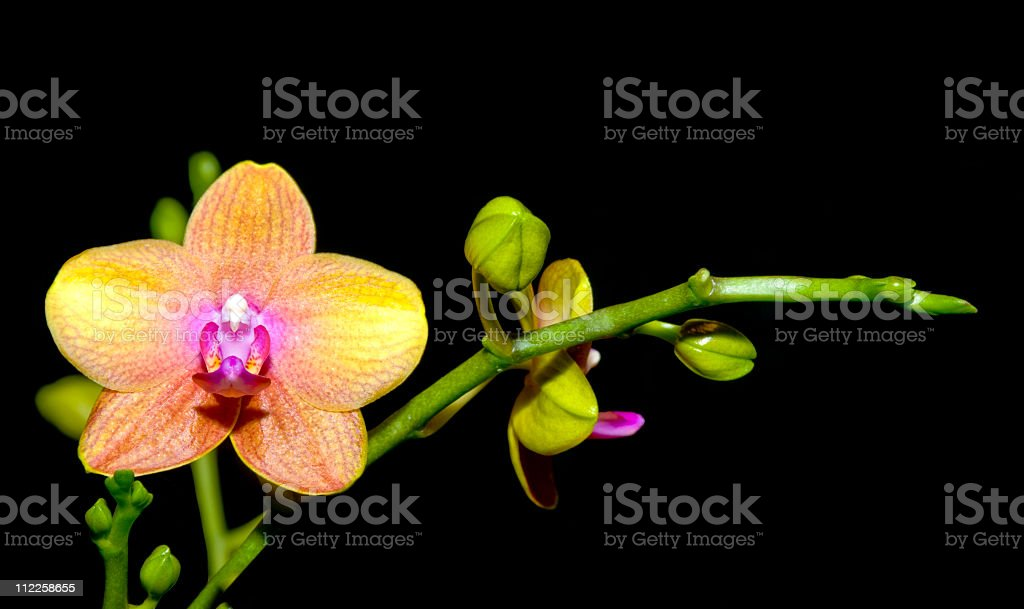 Colorful Moth Orchid isolated on black royalty-free stock photo
