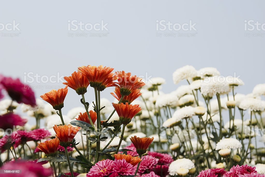 Colorful mums flowers royalty-free stock photo