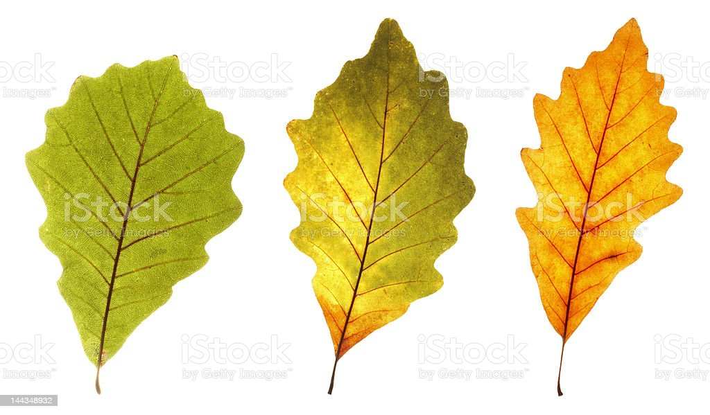 colorful oak leaves royalty-free stock photo
