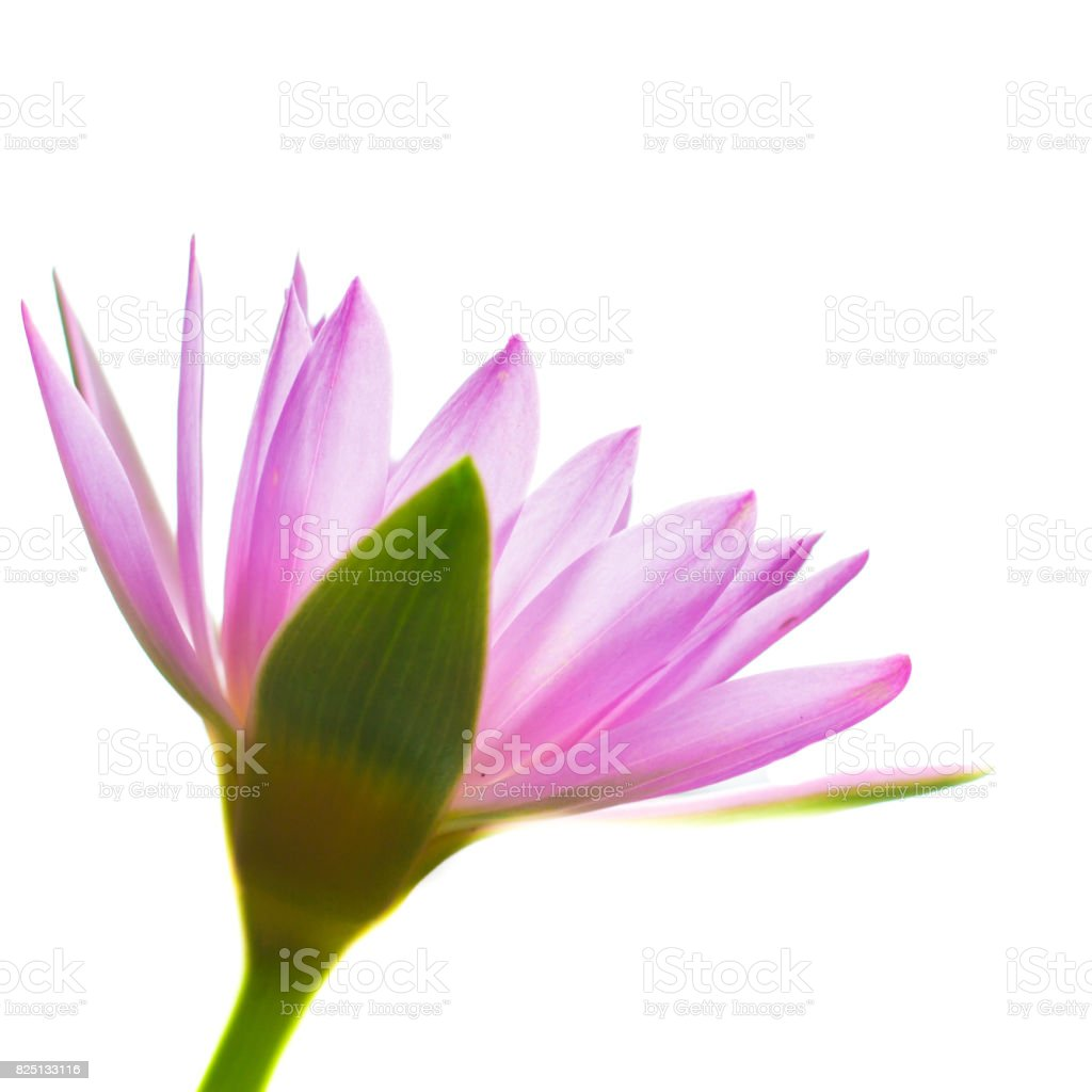 Colorful of a lotus. stock photo