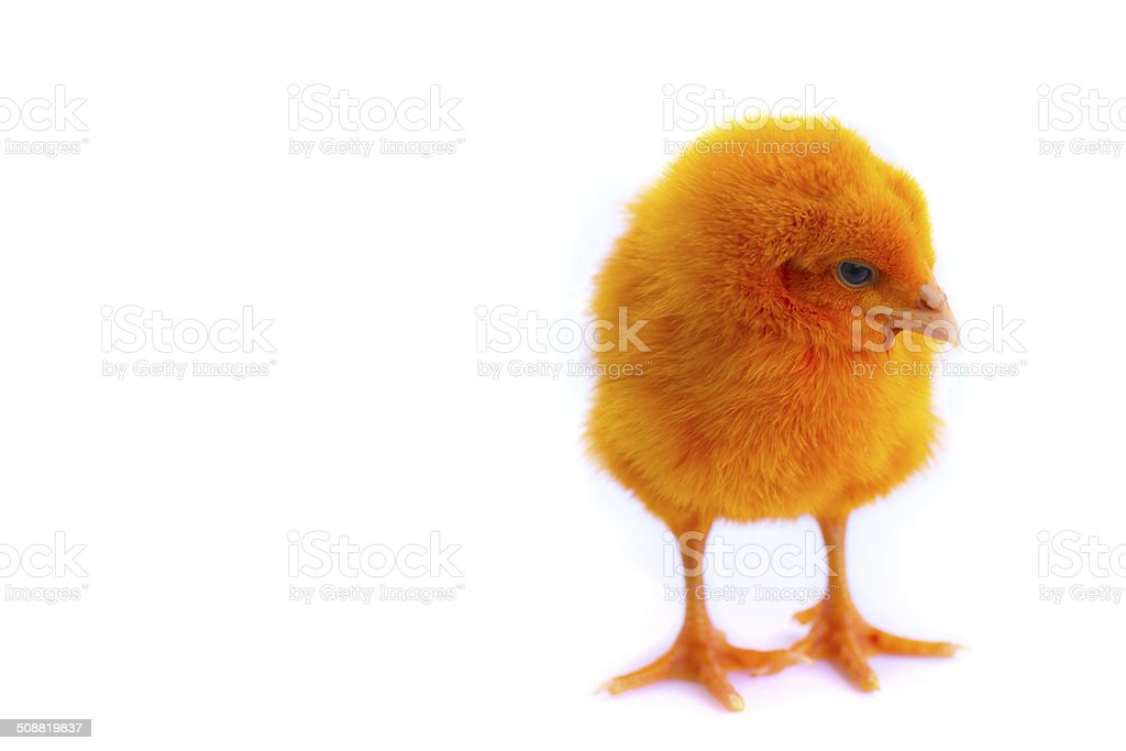 colorful of Cute Chicks stock photo