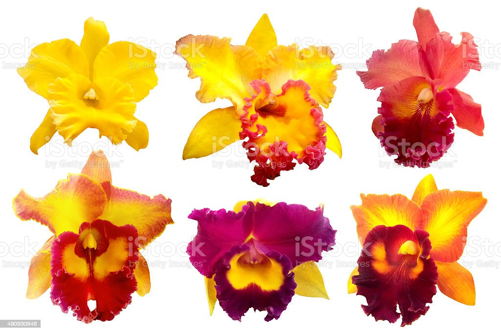 Colorful orchid isolated on white background stock photo