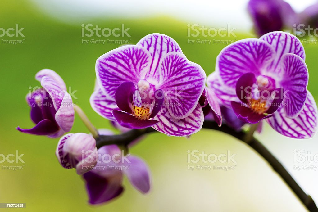 Colorful Orchid royalty-free stock photo