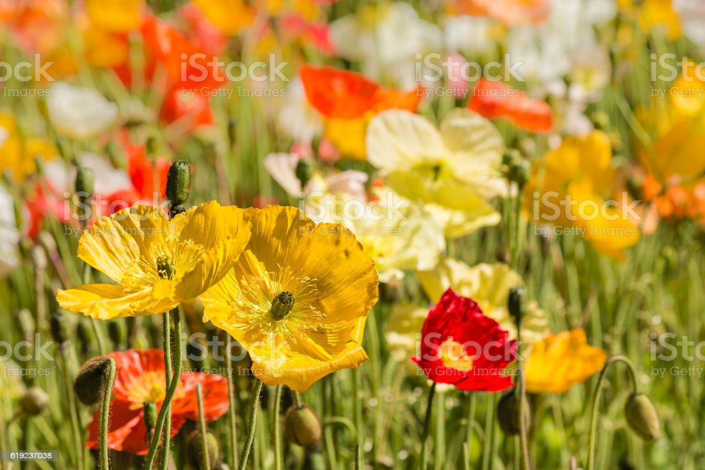 colorful oriental poppies on meadow stock photo