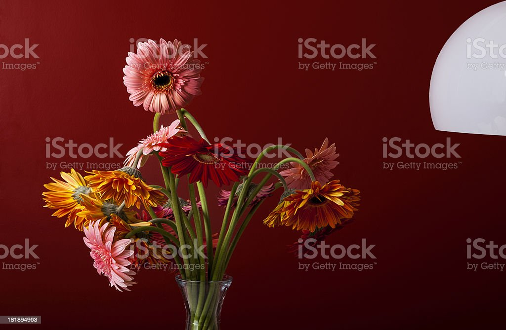 Colorful Osteospermum flower. royalty-free stock photo